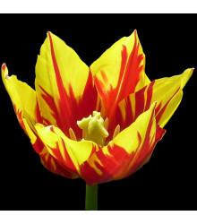 Tulipán Mickey Mouse cibuľky - cibuľoviny z Holandska - 3 ks