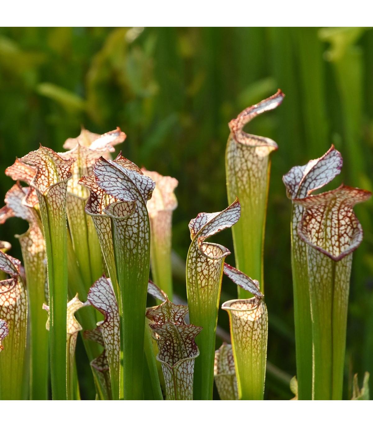 Saracénia bielolistá - Sarracenia leucophylla - semená - 12 ks