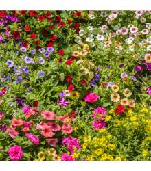 Petúnia plnokvetá zmes farieb - Petunia hybrida hybrida - predaj semien petúnie - 10 ks