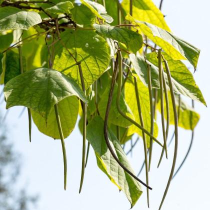 Katalpa severná - Catalpa speciosa - semená katalpy - 8 ks