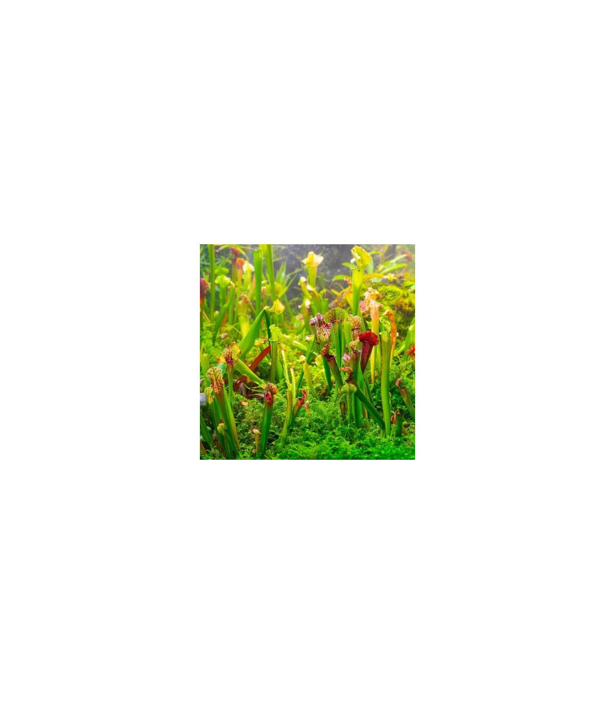 Saracénia zmes - Sarracenia mix - semená - 12 ks