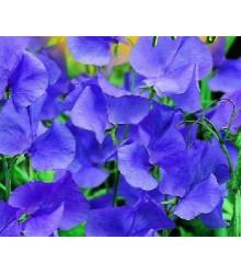 Hrachor pnúci modrý - semená hrachora - semiačka - 20 ks