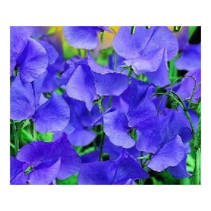 Hrachor pnúci modrý-semená hrachora-20 ks