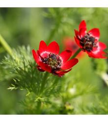 Hlaváčik letný - Adonis aestivalis - semená - 0,8 g