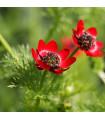 Hlaváčik-Adonis aestivalis-semená hlavačika-0,8g