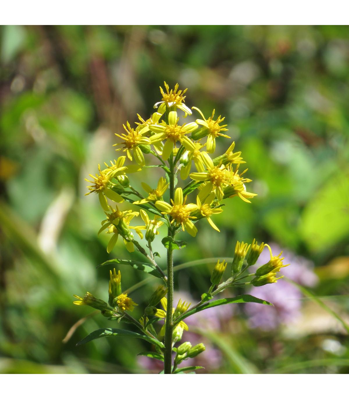 Zlatobyľ obyčajná - Solidago virgaurea - semená zlatobyle - semiačka - 10 ks
