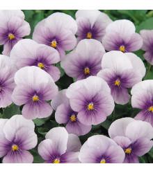 Fialka rohatá Sorbet Icy Blue - Viola cornuta - semená - 20ks