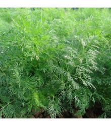 Kôpor voňavý Moravan - Anethum graveolens - semená - 500 ks