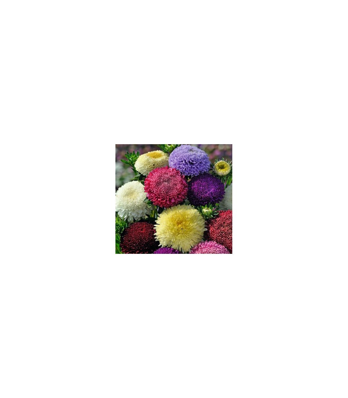 Astra pomponkovitá čínska - semená - 80 ks