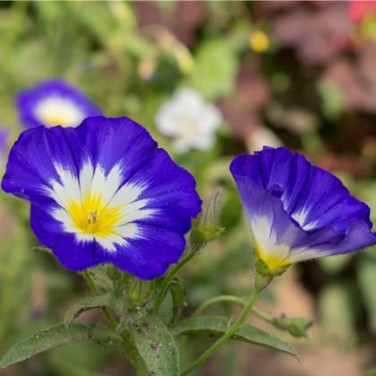 Pupenec trojfarebný - Convolvus tricolor - semená - 0,7 g