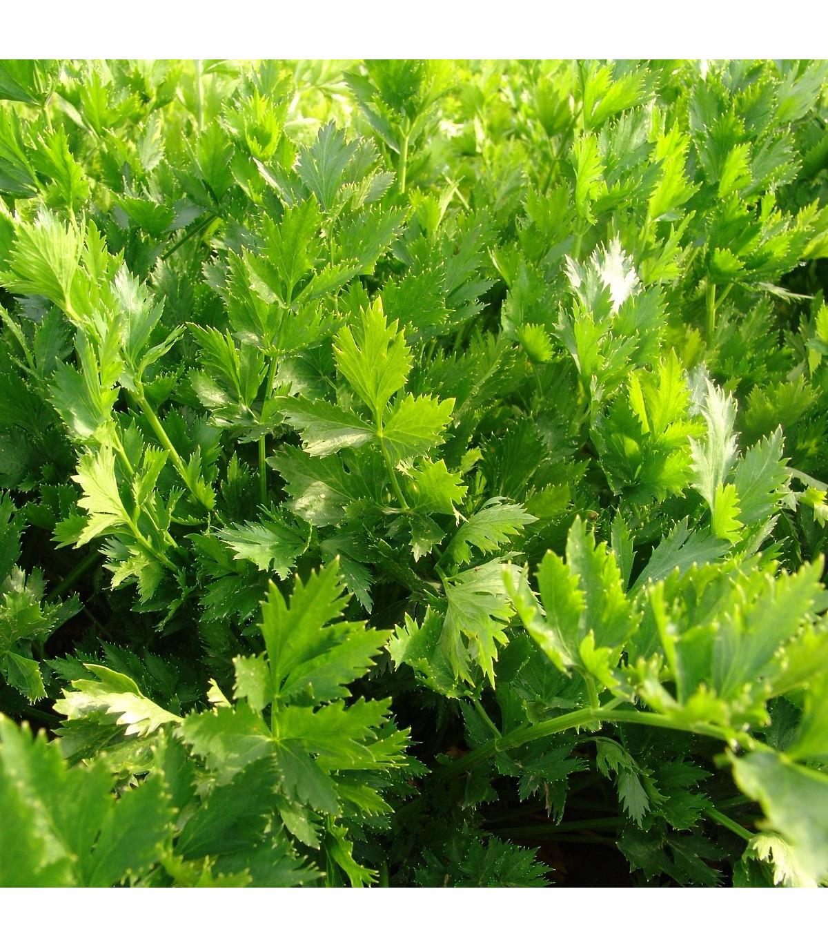 Zeler listový jemný - Apium graveolens - semená zelera - 1 g