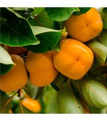 Ebenovník virgínsky - Tomel - Diospyros virginiana - semená ebenovníka - 4 ks