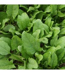 Špenát siaty Matador - Spinacia oleracea - semená - 60 ks