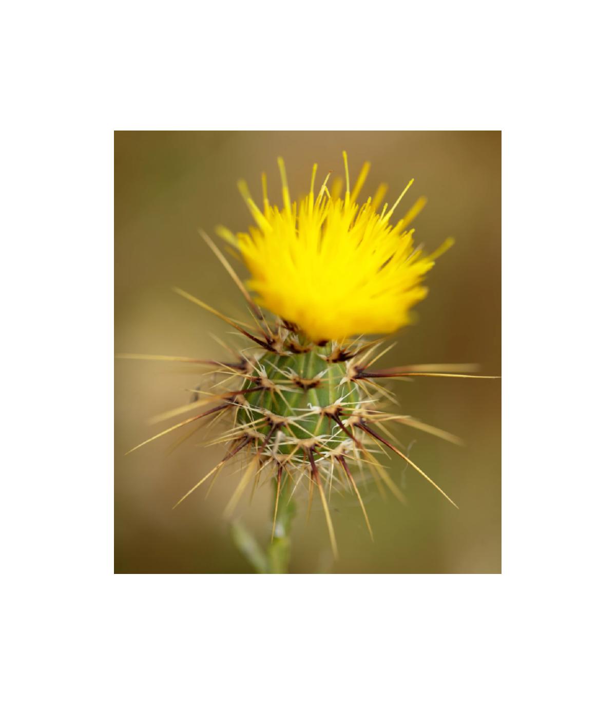 Nevädza lúčna žltá - Centaurea cyanus - semená nevädze - 50 ks