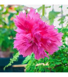 Begónia strapkatá ružová - Begonia fimbriata - cibuľoviny - 2 ks