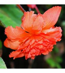 Begónia oranžová strapkatá - Begonia fimbriata - cibuľoviny - 2 ks