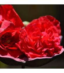 Begónia strapkatá červená - Begonia fimbriata - cibuľoviny - 2 ks