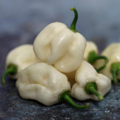 Chilli Bhut Jolokia biele - Capsicum Chinense - semená - 5 ks