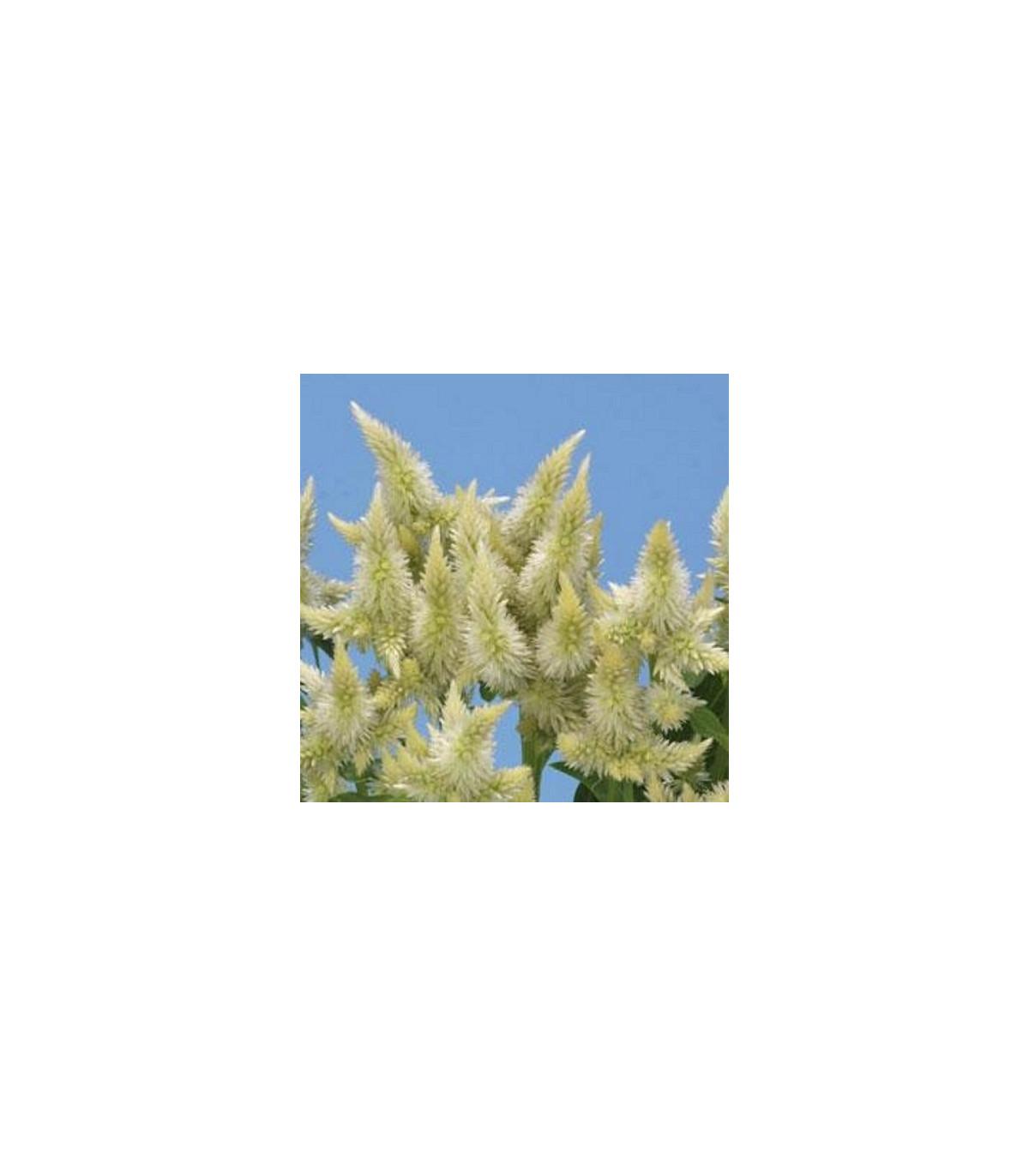 Plamenník klasnatý biely - Celosia spicata - semená celosie - 10 ks