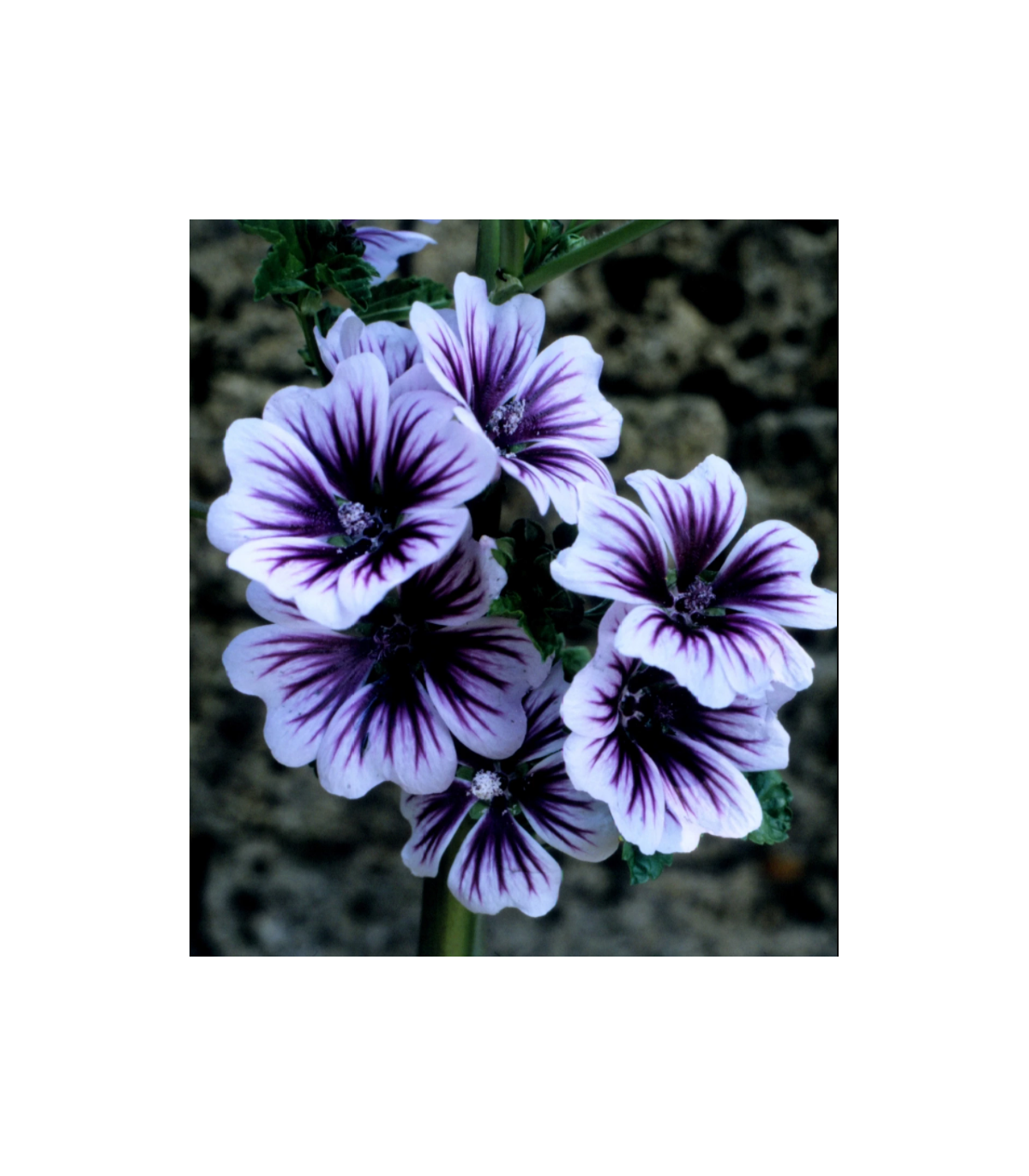 Slez lesný Zebrina- Malva sylvestris - semená slezu - 50 ks