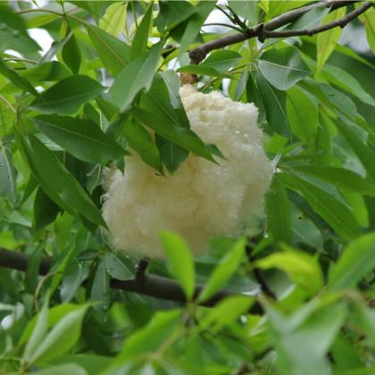Vlnovec päťmužný - Ceiba pentandra - semená Kapok-4 ks