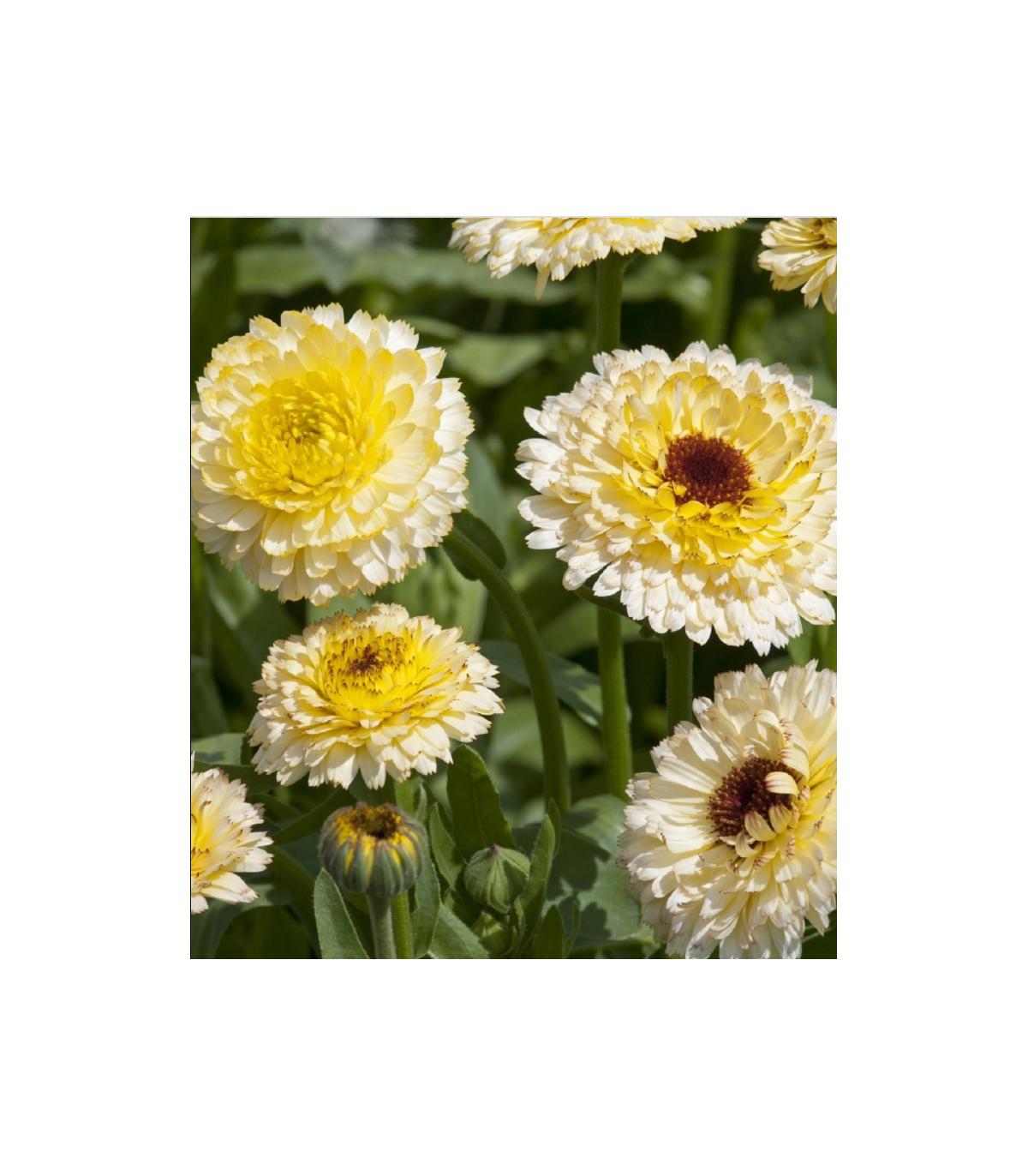 Nechtík lekársky Ivory Princess - Calendula officinalis - semená nechtíka - 40 ks