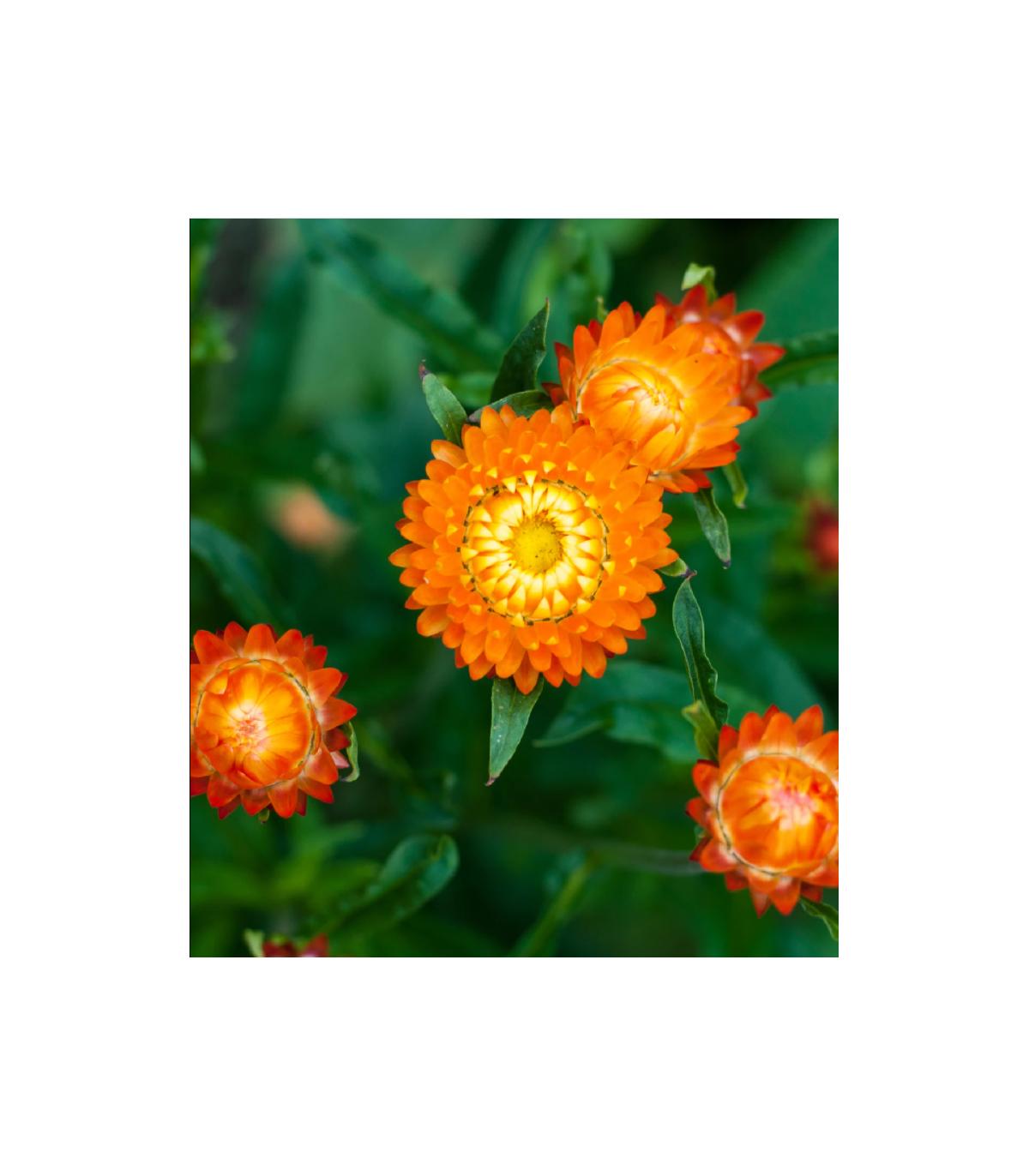 Smil listenatý oranžový- Helichrysum bracteatum - semená smilu - 500ks