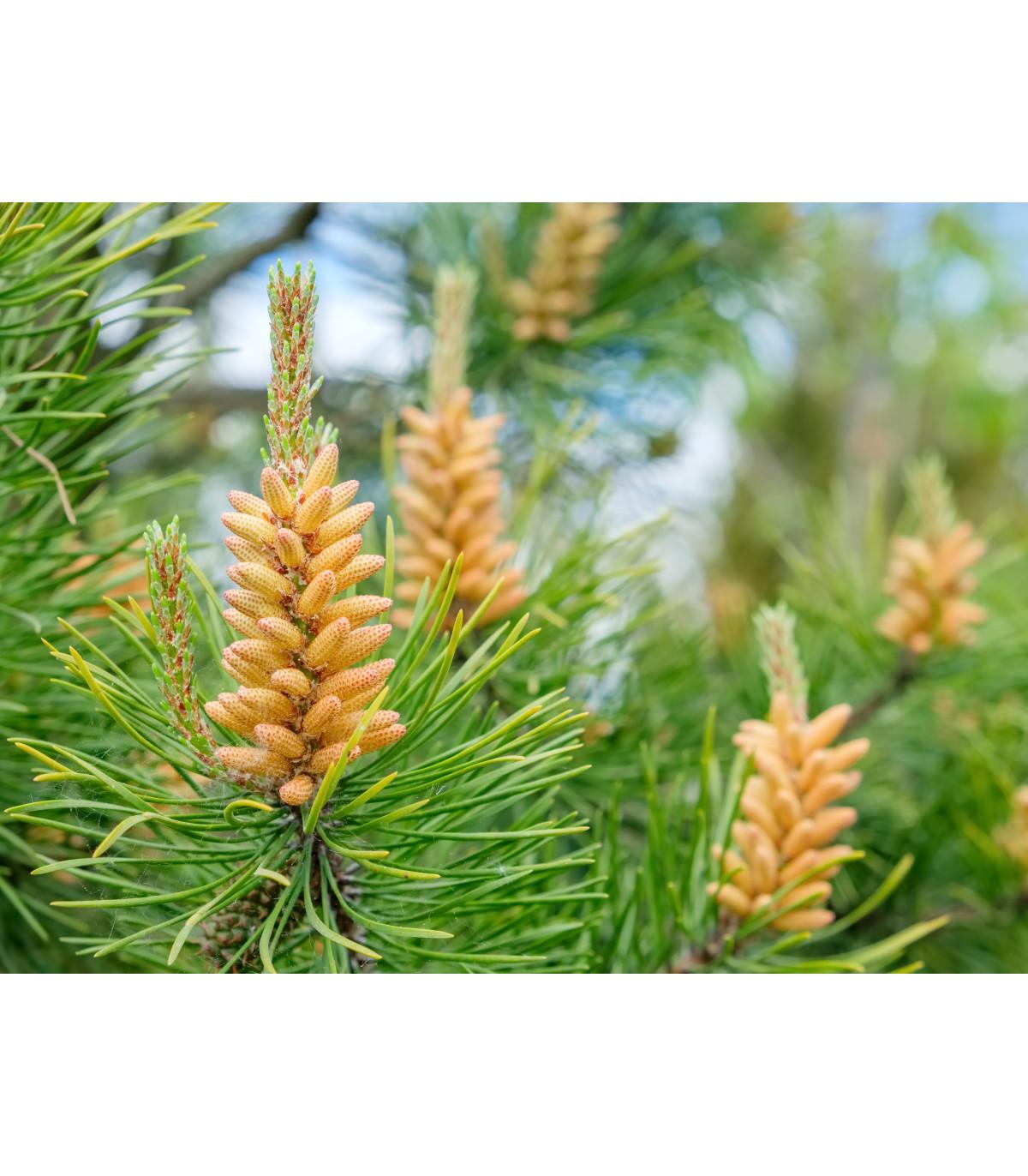 Borovica pokrútená-Pinus contorta-semená borovice-7 ks-
