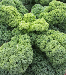 Kel kučeravý Husar - Brassica oleracea L. - semená - 140 ks