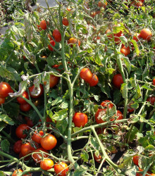 Paradajka kríčková Dalimil - Lycopersicon lycopersicum - rajčiak - semená - 0,1 g