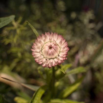Slamiha listenatá - Helichrysum bracteatum - semená slamihy - 500 ks