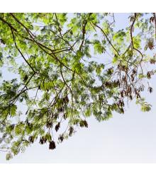 Akácia - Acacia mangium - bonsaj - semená - 8 ks