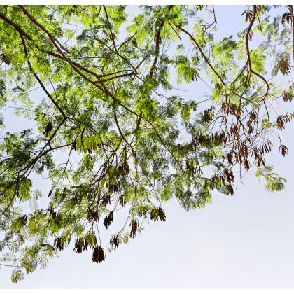 Akácia - Acacia mangium - semená - 8 ks
