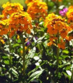 Cheirant voňavý - Cheiranthus cheiri - semená - 500 ks