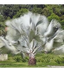 Palma strieborná - Nannorrhops arabica - semená - 3 ks