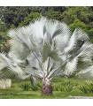 Palma strieborná-Nannorrhops arabica-semená palmy-3 ks