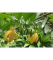 Kananga vonná - Ylang Ylang - Cananga odorata - semiačka - 4 ks