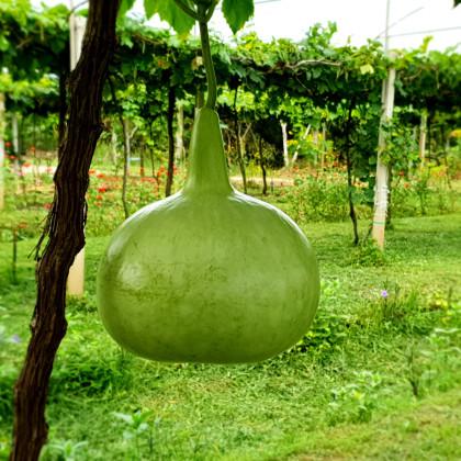 Tekvica - Lagenaria siceraria - semená tekvice - 8 ks