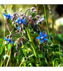 Borák lekársky modrý - Borago officinalis - semená boráka - 20 ks