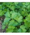 Zeler listový kučeravý Pikant - Apium graveolens var. Secalinum - semená Zeleru - 400 ks