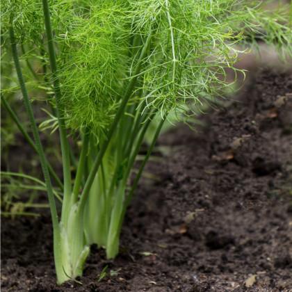 Fenikel hľuznatý De Florencia - Foeniculum vulgare - semená - 0,5 g