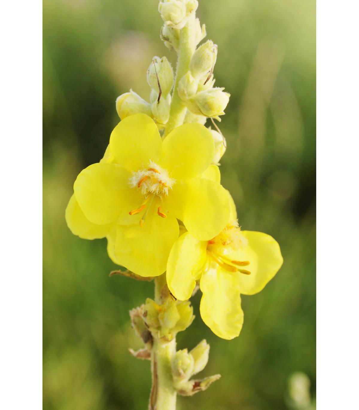 Divozel veľkokvetý - Verbascum densiflorum - semená divozelu - 300 ks