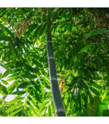 Bambus železný - Dendrocalamus Strictus - semená - 2 ks