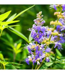 Vitex jahňací - Vitex agnus-castus - semená - 9 ks