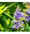 Vitex jahňací - Vitex agnus-castus - predaj semien - semená vitexa - 9 ks