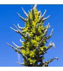 Puja Chilensis - semena Puji - semiačka - 5 ks