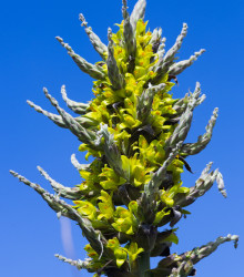 More about Puya Chilensis - Puya Chilensis - semená - 5 ks