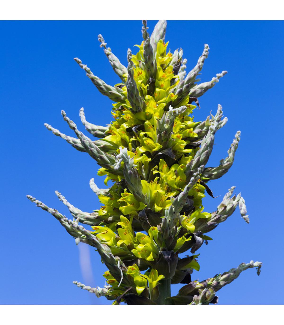 Puya Chilensis - Puya Chilensis - semená - 5 ks