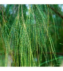 Tropický dub - Casuarina Cunninghamiana - bonsaj - semená - 5 ks