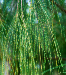 Tropický dub - Casuarina Cunninghamiana - bonsaj - semená duba - 5 ks